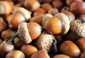 acorns-1013486_1920